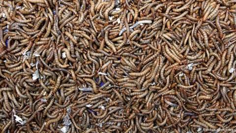 Αηδιαστικό! Τα σκουλήκια είναι θρεπτικά και οικολογικά