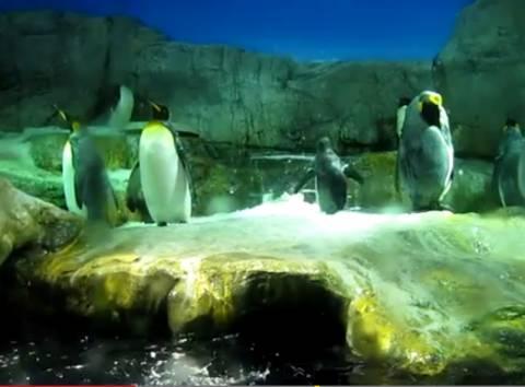 Βίντεο: Δείτε τι έκανε ένας πιγκουίνος για να τραβήξει τα βλέμματα!