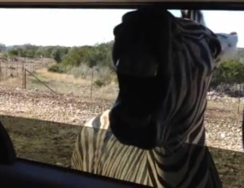 Βίντεο: Δείτε μία ζέβρα να ποζάρει στο φωτογραφικό φακό!
