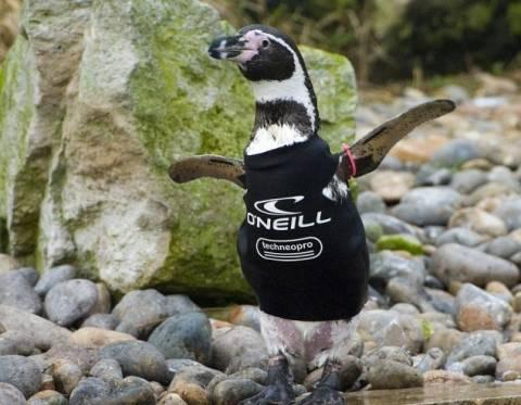 Ο πιγκουίνος που φόρεσε στολή κατάδυσης (pics)