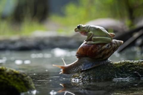 Τεμπέλης βάτραχος… μεταφέρεται από σαλιγκάρι!