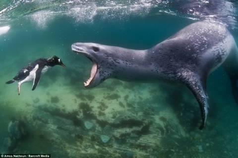 Η στιγμή που μια τεράστια φώκια-λεοπάρδαλη αρπάζει έναν πιγκουίνο
