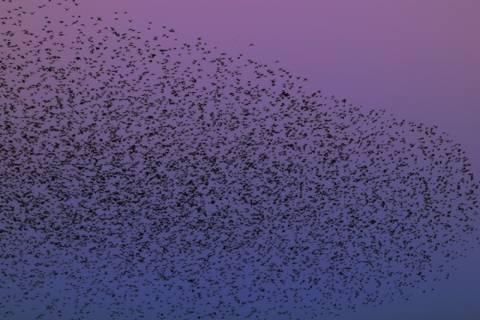 Βίντεο: Σμήνος πουλιών σε απίστευτους σχηματισμούς στον αέρα