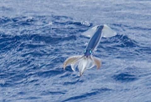 «Ιπτάμενο» καλαμάρι «απειλεί» τον Γιουσέιν Μπολτ!