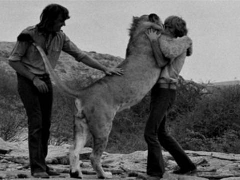 10f3c81187 Βίντεο  Ένα λιοντάρι που αγάπησε ανθρώπους