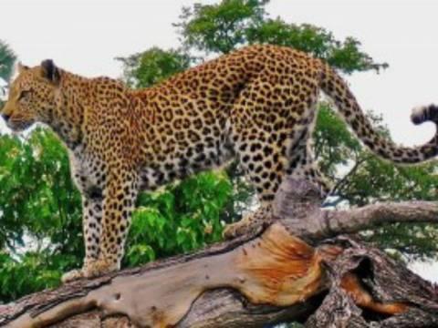 Πώς αντιδρά μια λεοπάρδαλη όταν βλέπει τον εαυτό της σε καθρέφτη