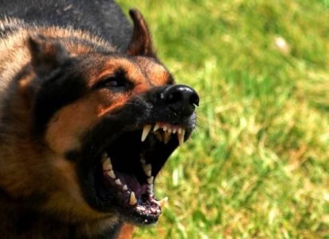 Πάτρα: Λυκόσκυλο έκοψε το αυτί Αλβανού που μπήκε σε αγροτική κατοικία!