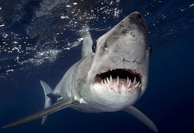 ΑΠΙΣΤΕΥΤΕΣ ΦΩΤΟΓΡΑΦΙΕΣ: Τα σαγόνια του καρχαρία …κανονικότατα!