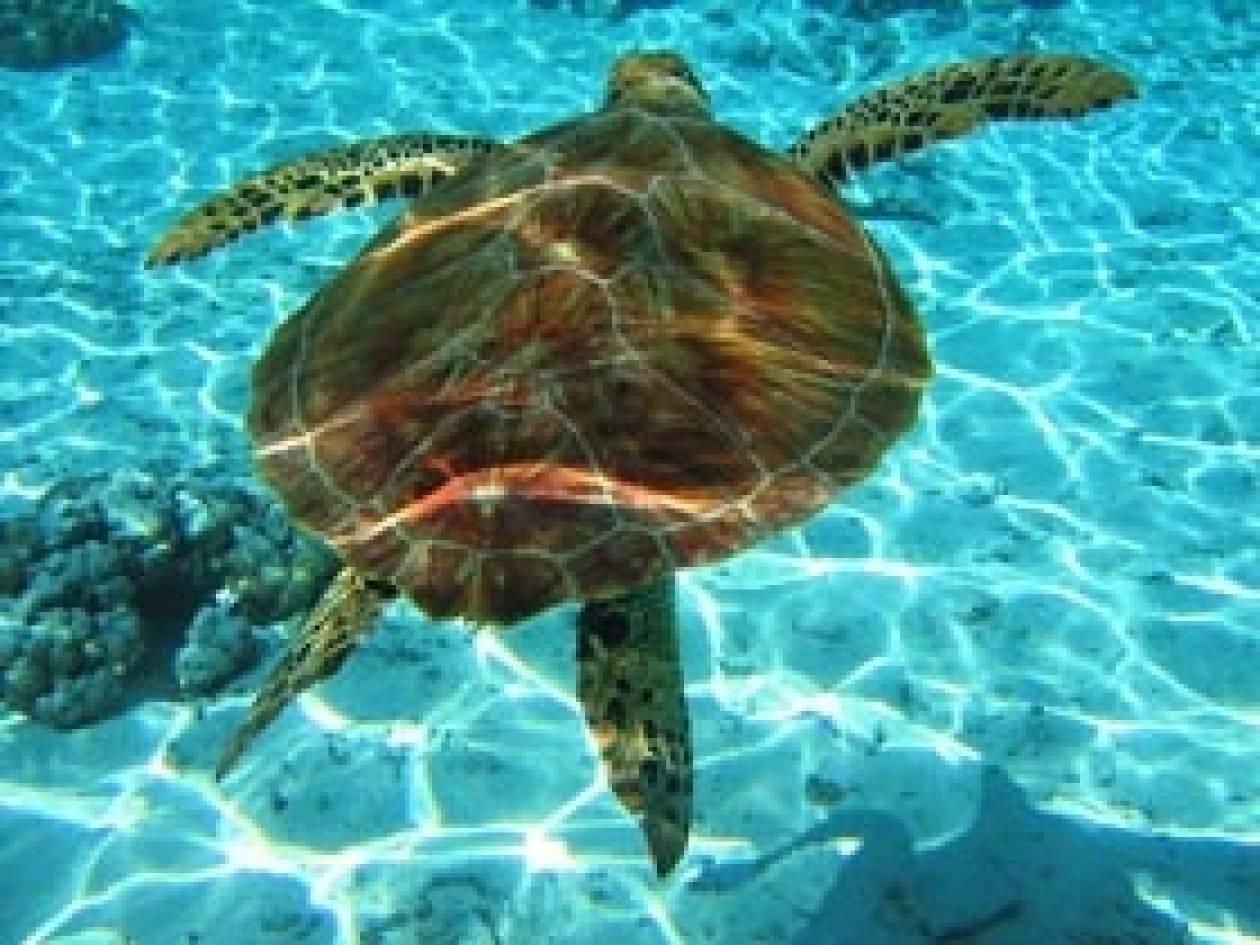 Τέσσερις νεκρές θαλάσσιες χελώνες σε μια μέρα στην Πρέβεζα!