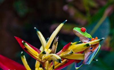 Ο σπάνιος βάτραχος γελωτοποιός! (pics)