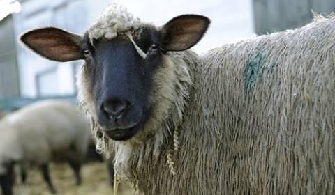 Καζακστάν: Μεταλλαγμένο αρνί με οκτώ πόδια και τρία μάτια