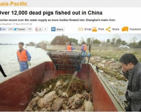 Ποταμός ξέβρασε 9.000 νεκρά γουρούνια