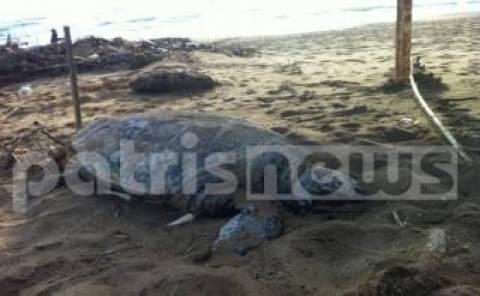 Ηλεία: Νεκρή Caretta-Caretta στην παραλία της Ζαχάρως
