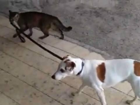 Βίντεο: Γάτα βγάζει βόλτα σκύλο!