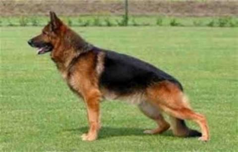 Δολοφόνησαν τον Μπεν, το πιο έξυπνο λυκόσκυλο του ΣΔΟΕ