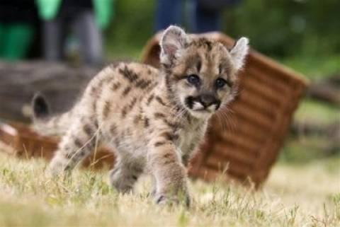 «Μασκότ» του Αττικού Πάρκου ένα νεογέννητο πούμα και ένα λιονταράκι