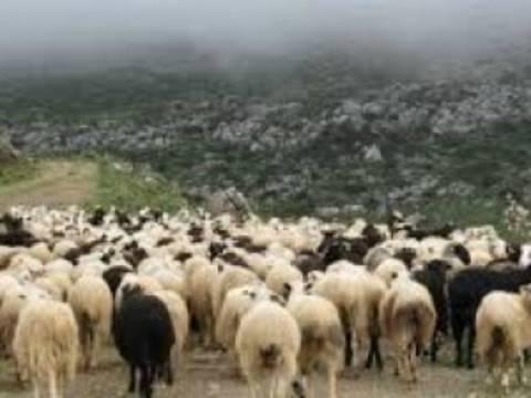 Μαγνησία: 65 αιγοπρόβατα... έκαναν φτερά!