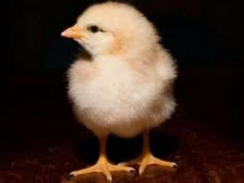 Πάπια γέννησε… κοτόπουλο!