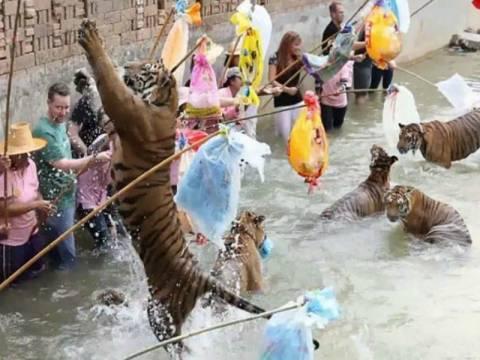 Βίντεο: Τουρίστες... παίζουν με τίγρεις χωρίς καμία απροστασία