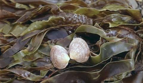 Τα φύκια μπορεί να μετατρέψουν τη Βαλτική θάλασσα σε βάλτο