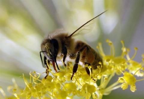 Απίστευτο: Μέλισσες σε ρόλο...ναρκαλιευτών!