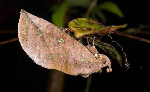Πεταλούδα μεταμορφώνεται σε ξερό φύλλο! (pics)