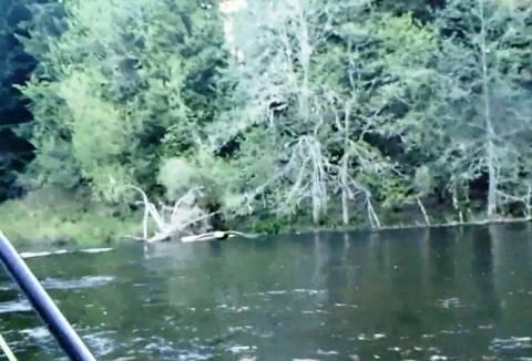 Βίντεο: Αετός αρπάζει το ψάρι από το καλάμι ερασιτέχνη ψαρά!