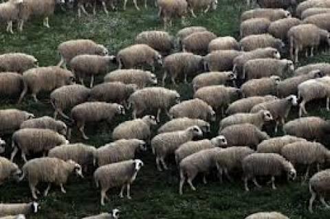 Παραλίμνι: Εκλεψαν πρόβατα αξίας 4.000 ευρώ