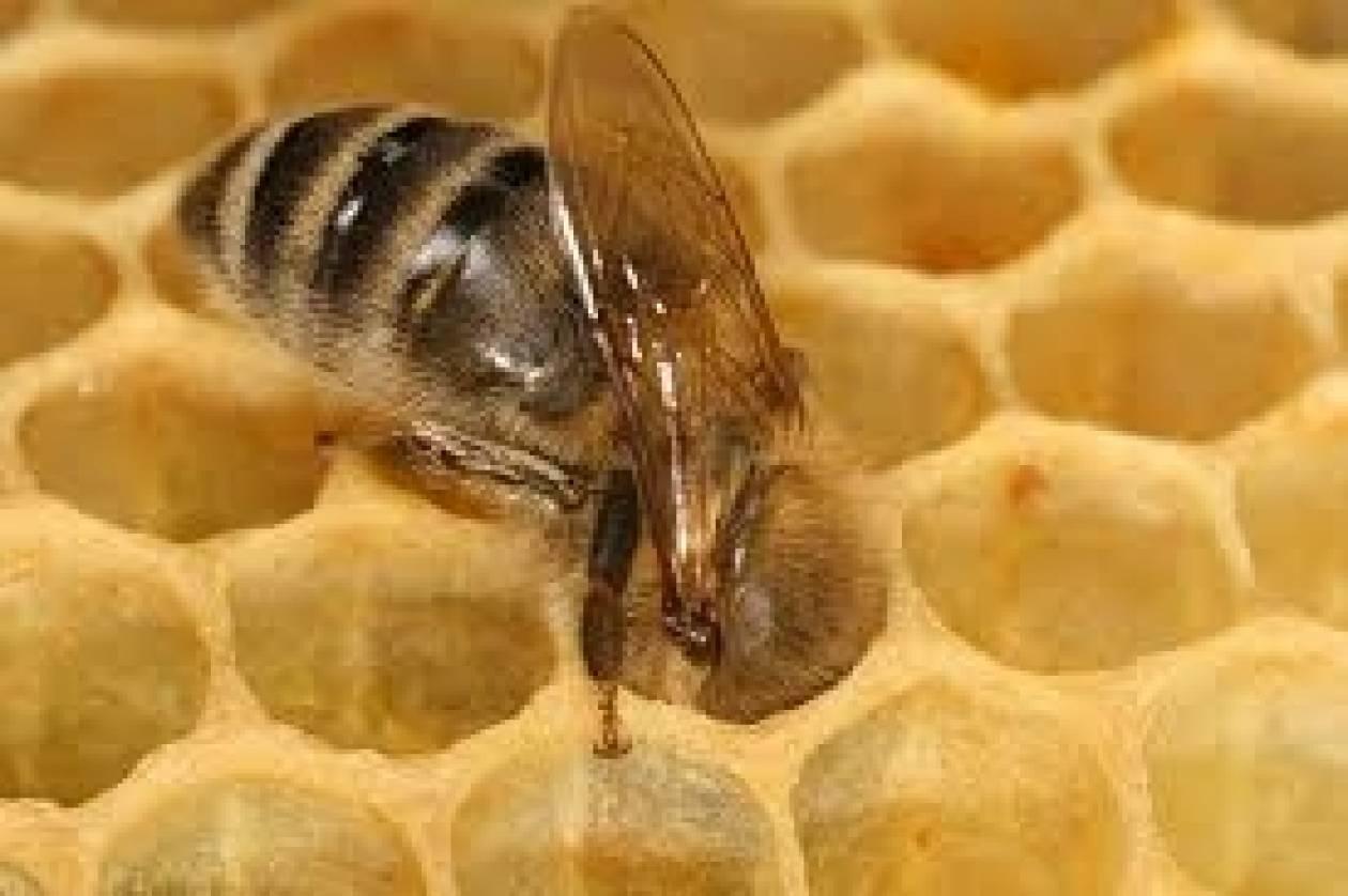 Απίστευτο! Εκπαιδεύουν μέλισσες για εντοπισμό ναρκών!
