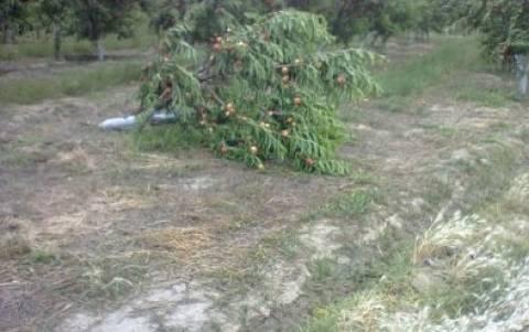 Φθιώτιδα: Καταστροφές στις καλλιέργειες από τους ισχυρούς ανέμους
