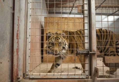 Μυστήριο με τη φονική επίθεση τίγρεων σε υπάλληλο ζωολογικού κήπου