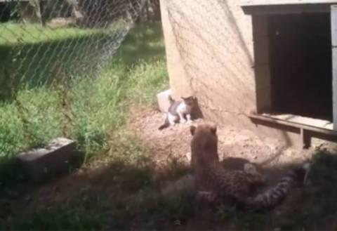 Μοναδική αναμέτρηση - Γάτα «τα βάζει» με τσιτάχ!(vid)