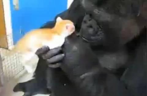 Βίντεο: Γατάκι βρίσκει στοργή στην αγκαλιά Γορίλα!