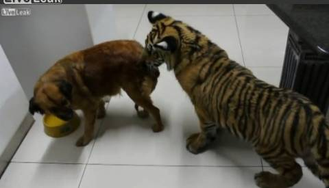Βίντεο: Σκύλος vs... τίγρη για ένα μπολ νερό