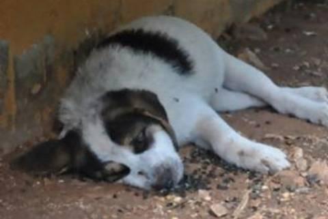 «Κτήνη» δηλητηρίασαν μαζικά σκυλιά στην Κρήτη