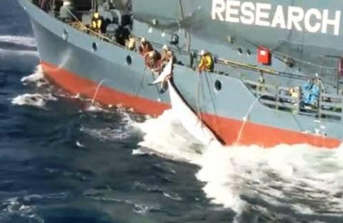 Στη Χάγη αντιμέτωπες Αυστραλία και Ιαπωνία για τη φαλαινοθηρία