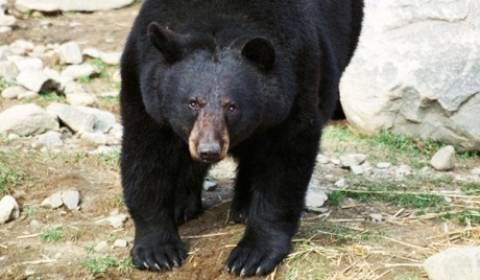 RT: Στους δρόμους της Ουάσιγκτον περπατούσε αρκούδα
