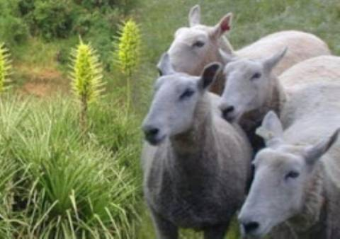 Kι όμως συμβαίνει: Φυτό τρώει... πρόβατα