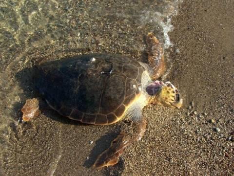 Έντεκα θαλάσσιες χελώνες βρέθηκαν νεκρές τον Ιούνιο