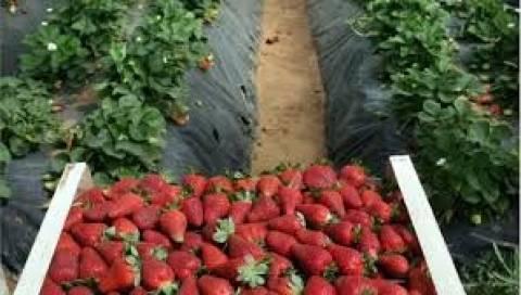 Μανωλάδα: Η χαμηλή ζήτηση στα φραουλοχώραφα έχει εξήγηση!