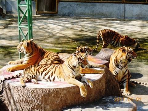 Ιταλία: Επιστάτης ζωολογικού κήπου σκοτώθηκε από τρεις τίγρεις