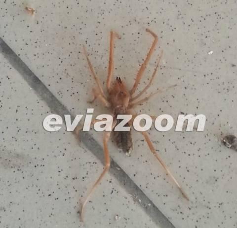 Χαλκίδα: Μια δηλητηριώδης αράχνη τον περίμενε στην αυλή του! (pics)