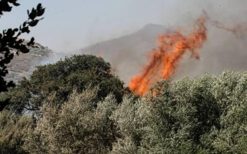 Χιλιάδες αιωνόβιες ελιές καίγονται σε πυρκαγιά στην Άμφισσα