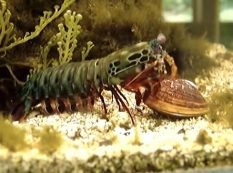 Γαρίδα Mantis: Μία εξελιγμένη θανατηφόρα μηχανή της φύσης