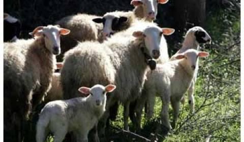 Τριπλασιάστηκαν οι εμβολιασμοί αιγοπροβάτων στη δυτική Ελλάδα