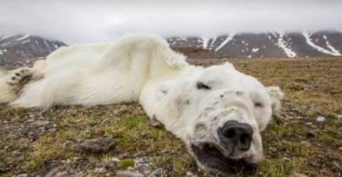 Πολική αρκούδα έπεσε θύμα της κλιματικής αλλαγής