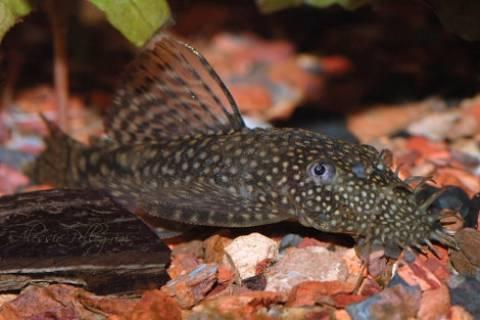 Ψάρι του Αμαζονίου στη λίμνη Καστοριάς