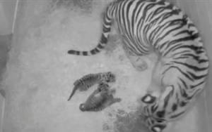 Γεννήθηκαν δύο σπάνια τιγράκια της Σουμάτρας (pics)