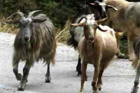 Μπήκαν από τα σύνορα και άρπαξαν 80 κατσίκες
