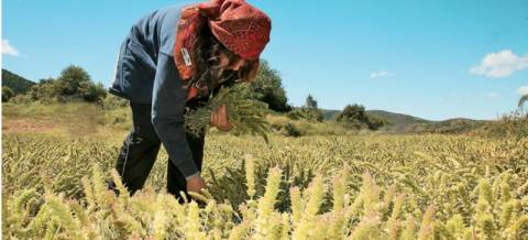Προστατευόμενο είδος ανακηρύχθηκε το τσάι στα βουνά της Κρήτης